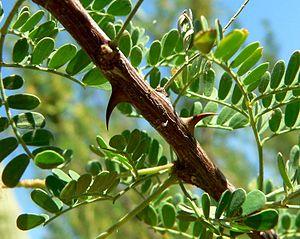 Akasia (Acacia greggii)