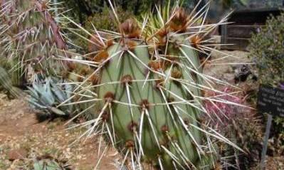 Kaktus (Ferocactus pilosus)