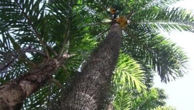Pejibaye Palm (Bactris gasipaes)